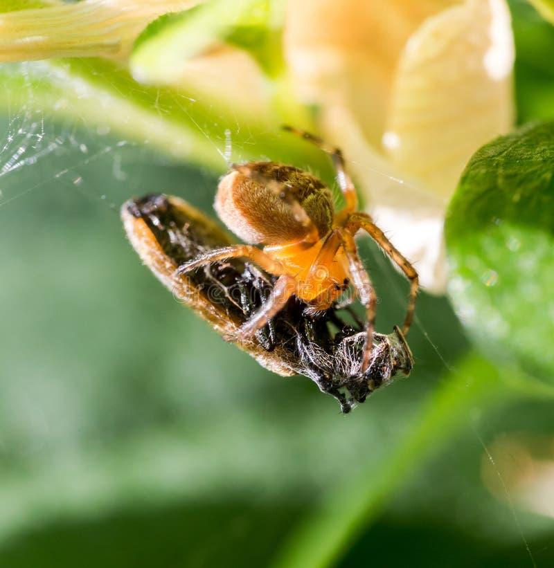 Captura da aranha uma vítima imagens de stock