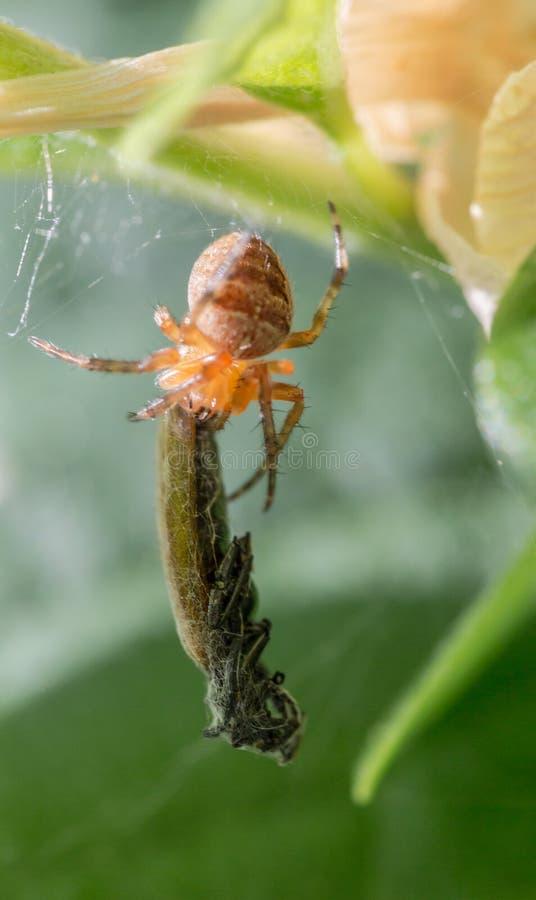 Captura da aranha uma vítima imagem de stock royalty free