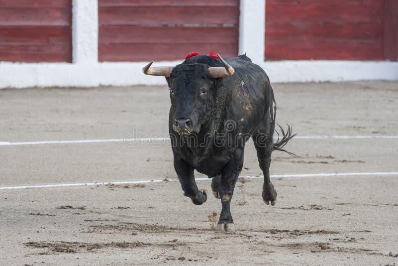 Captura de la figura de un toro valiente del color del negro del pelo en una corrida imágenes de archivo libres de regalías