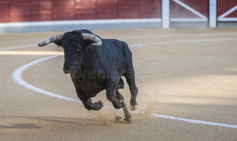 Captura de la figura de un toro valiente en una corrida foto de archivo