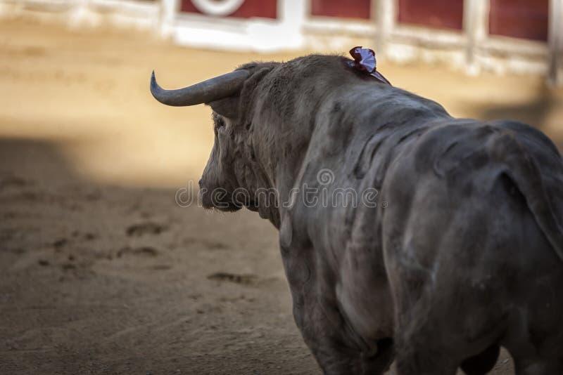 Captura de la figura de un toro valiente en una corrida fotografía de archivo libre de regalías