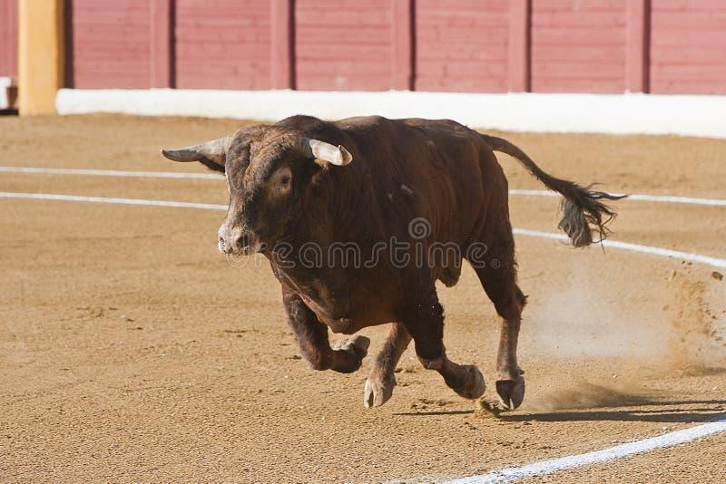 Captura de la figura de un toro valiente en una corrida fotos de archivo libres de regalías