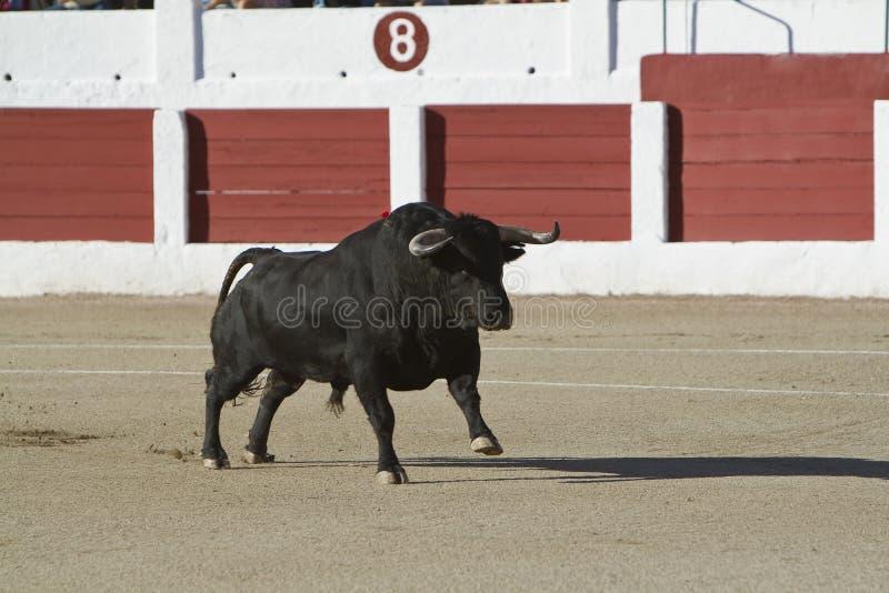Captura de la figura de un toro valiente en una corrida imagen de archivo