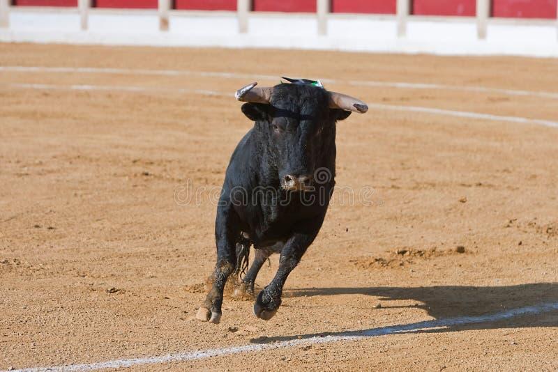 Captura de la figura de un toro valiente en una corrida fotos de archivo