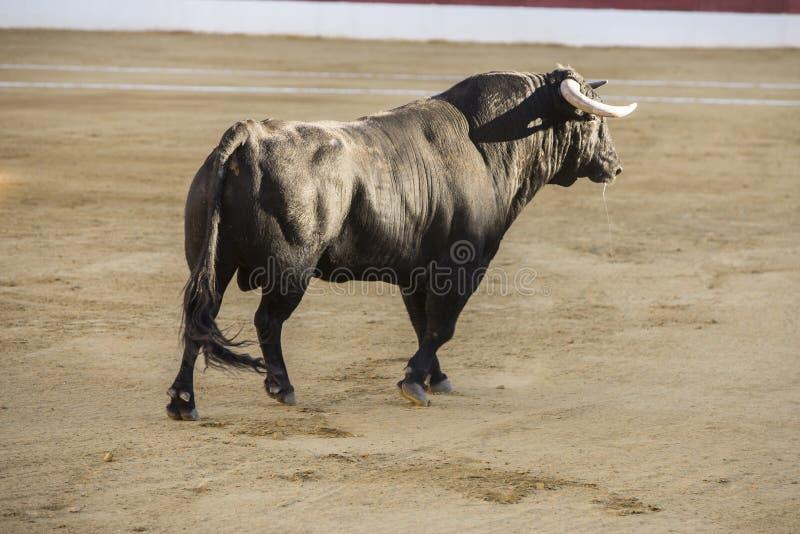 Captura de la figura de un toro valiente en una corrida imagen de archivo libre de regalías