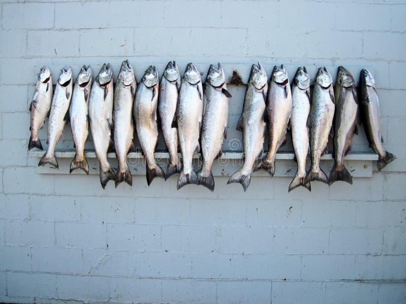 Captura de los salmones imágenes de archivo libres de regalías