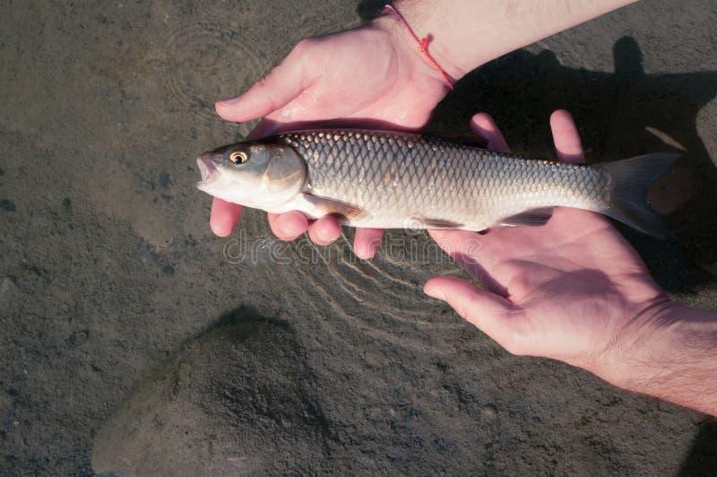 Captura de pesca y lanzamiento de un cephalus europeo de Chub Squalius imagen de archivo