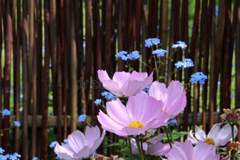 Captura del rayo de sol algunas flores rosadas y azules fotografía de archivo libre de regalías