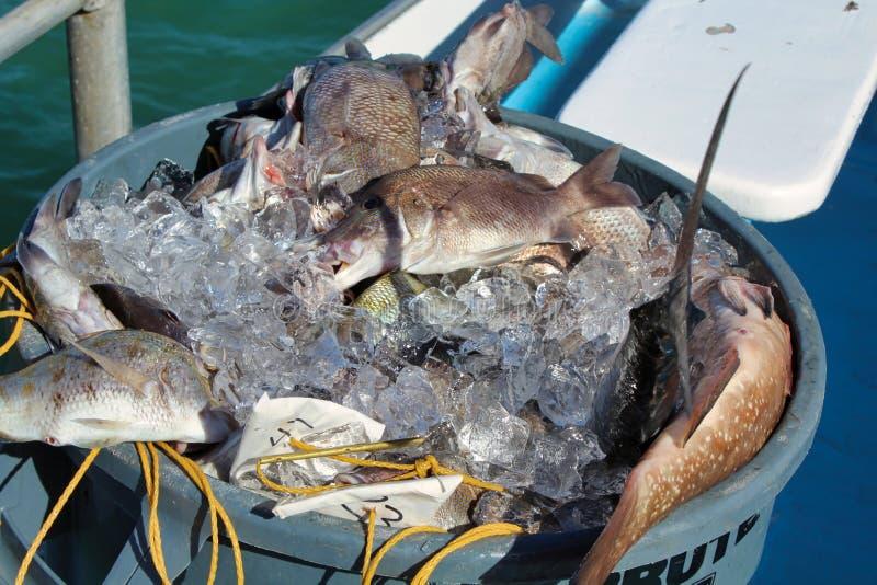 A captura di?ria dos peixes em um tambor foto de stock royalty free
