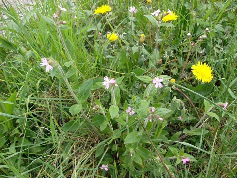 Captura em close de belíssimos amarelos Bellis perennis daisies que crescem no meio de uma floresta imagens de stock