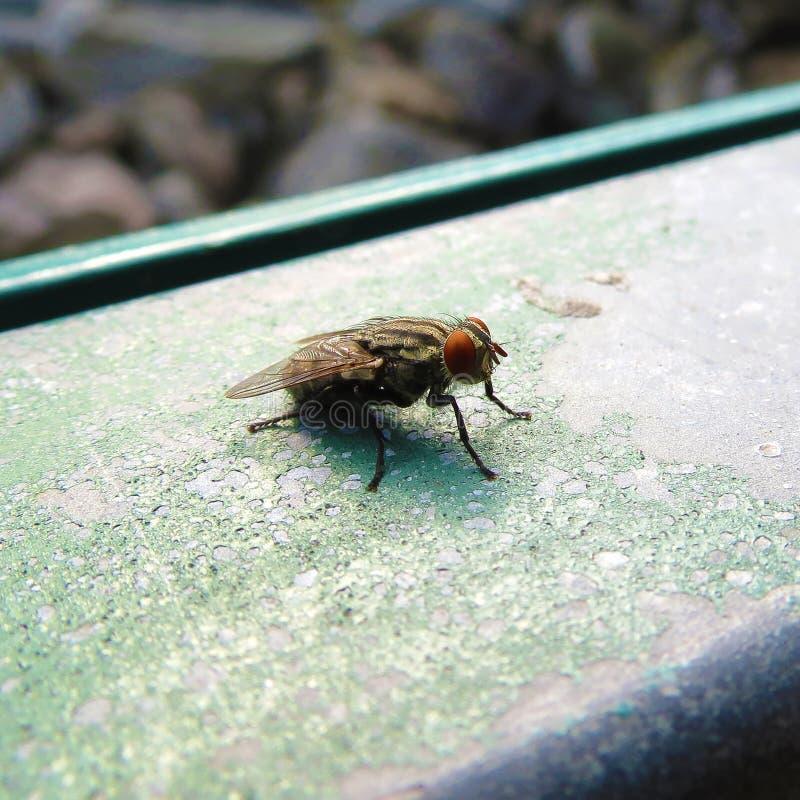 Captura enfocar-en y del primer de una mosca china en el parque fotos de archivo