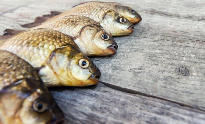 Captura fresca da carpa crucian imagem de stock