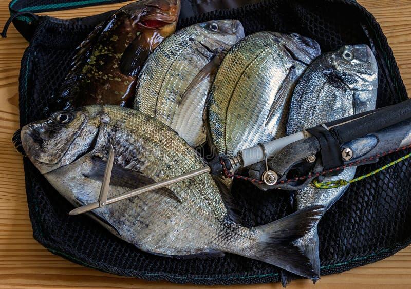 A captura fresca dos grandes peixes marinhos que encontram-se em uma malha ensaca fotografia de stock