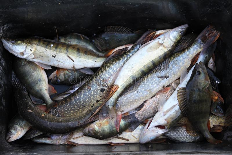 Captura rica do pescador fotografia de stock