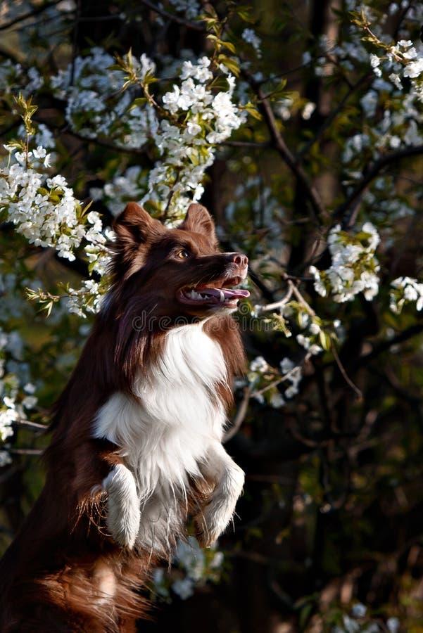 Capturas del perro del border collie imagen de archivo libre de regalías
