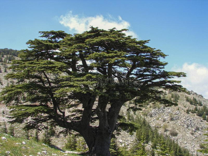 Cedar reserve in Lebanon during spring. This is a capture of a Cedar forest located in Lebanon, this picture was taken during spring 2009 and you can see the old stock photo