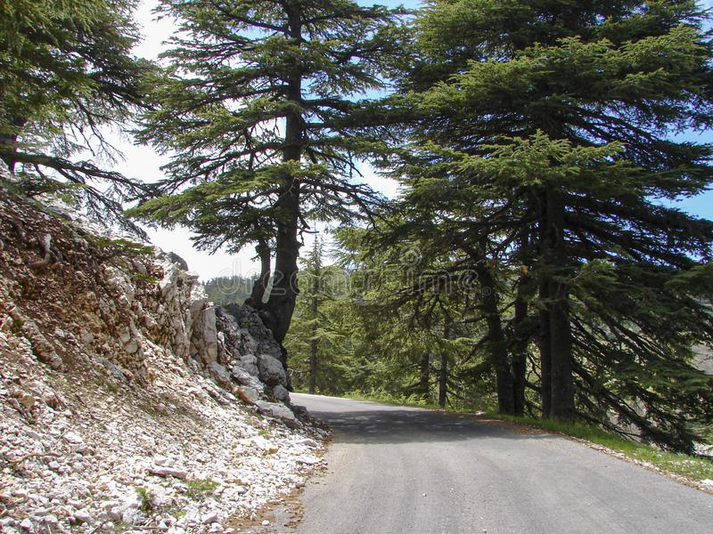 Cedar reserve in Lebanon during spring. This is a capture of a Cedar forest located in Lebanon, this picture was taken during spring 2009 and you can see the old royalty free stock photography
