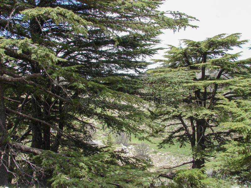 Cedar reserve in Lebanon during spring. This is a capture of a Cedar forest located in Lebanon, this picture was taken during spring 2009 and you can see the old royalty free stock photo