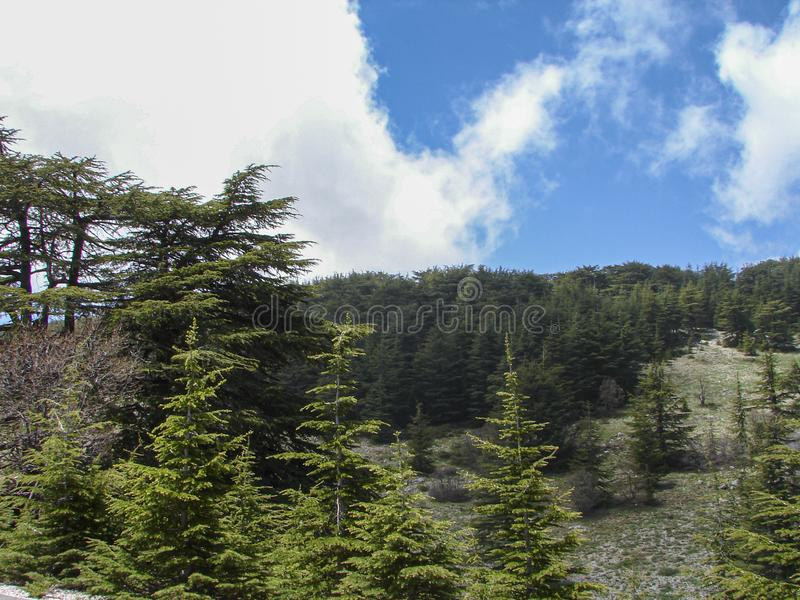 Cedar reserve in Lebanon during spring. This is a capture of a Cedar forest located in Lebanon, this picture was taken during spring 2009 and you can see the old stock images