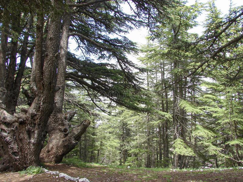 Cedar reserve in Lebanon during spring. This is a capture of a Cedar forest located in Lebanon, this picture was taken during spring 2009 and you can see the old stock photos