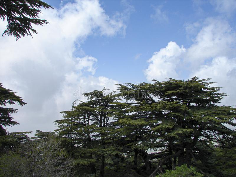 Cedar reserve in Lebanon during spring. This is a capture of a Cedar forest located in Lebanon, this picture was taken during spring 2009 and you can see the old stock photography
