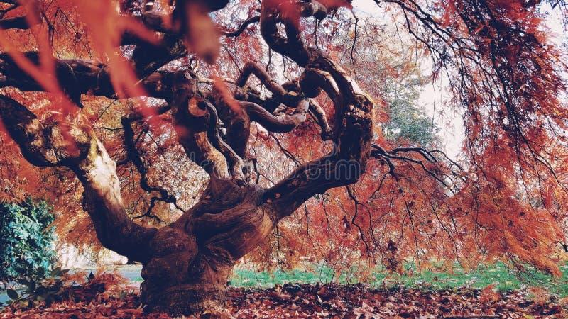 Capture de fermeture d'un magnifique arbre aux branches courbées et aux feuilles rouges en automne images stock