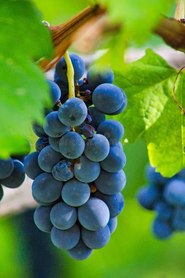 Capture de fermeture verticale d'un magnifique groupe de raisins poussant sur l'arbre avec fond flou image libre de droits