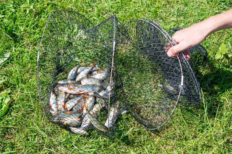 Capture de poissons dans le panier net sur l'herbe verte par la rivière Beaucoup RO images stock