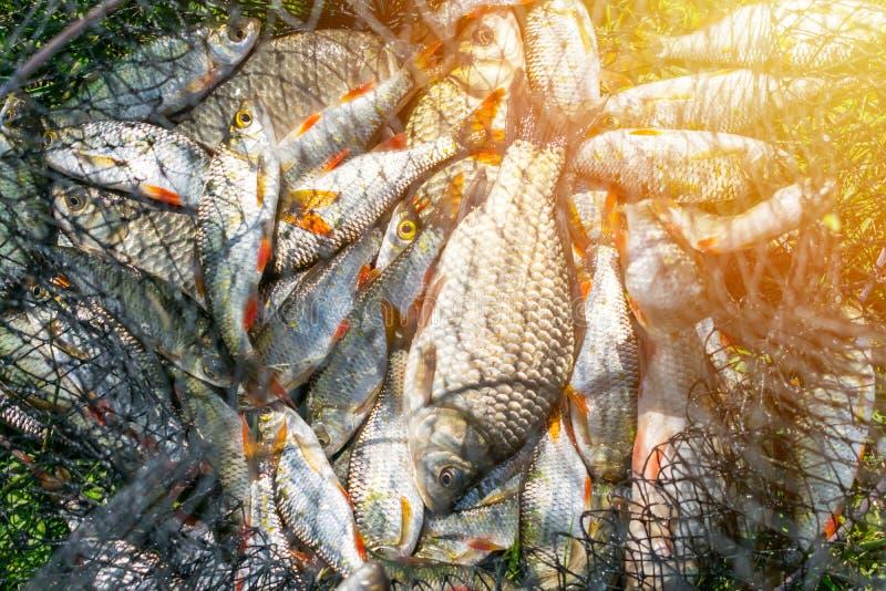 Capture de poissons dans le panier net sur l'herbe verte par la rivière Beaucoup RO photographie stock libre de droits