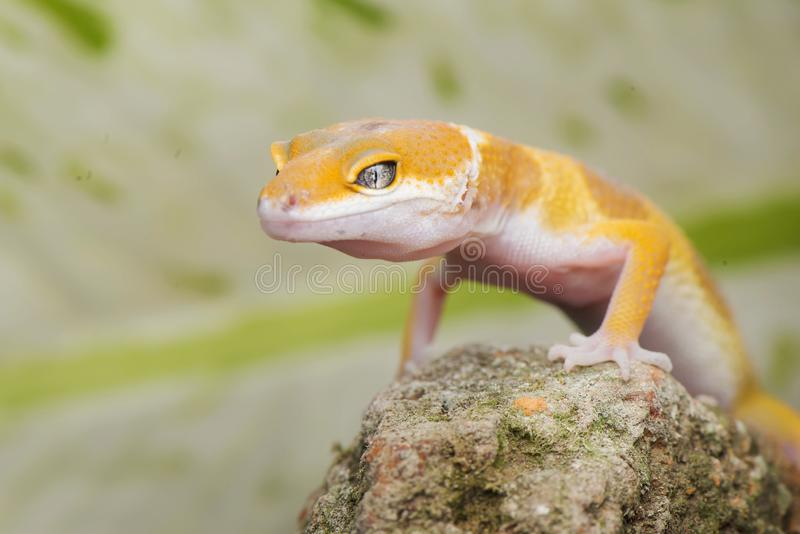 Capture with gecko. Gecko, animal, orange, indonesia, wild, pet, nopeople, eye, small, color, sunlight, close, angry, little royalty free stock photography