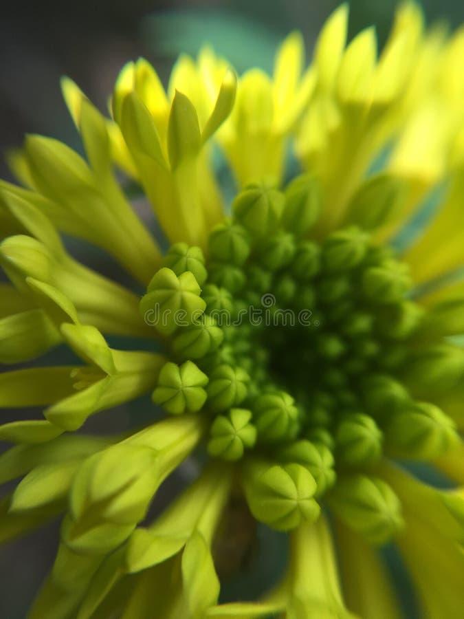 Capture micro de lentille de fleur jaune photographie stock libre de droits