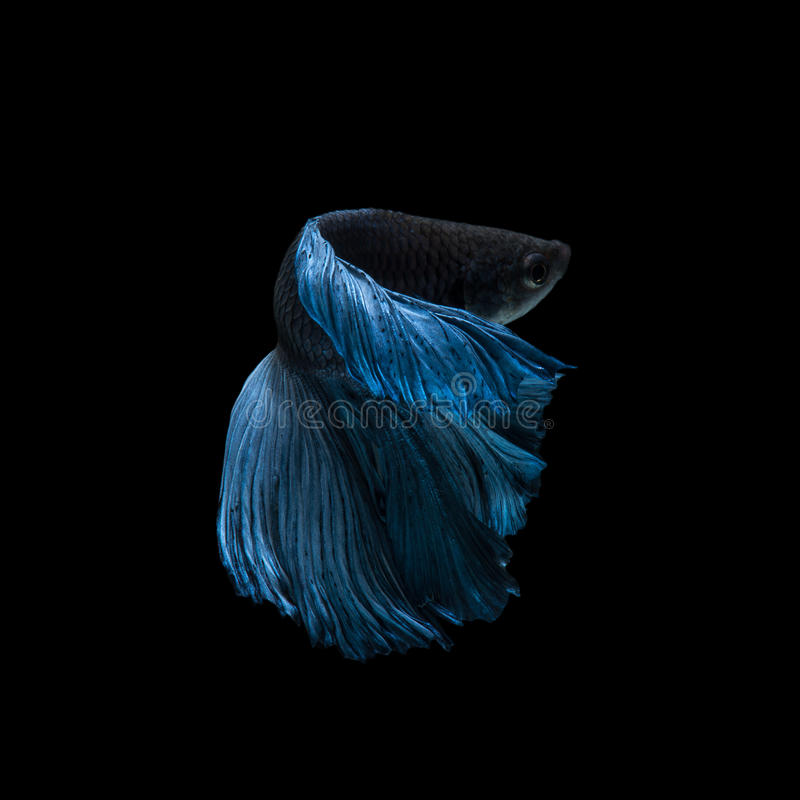 Capture the moving moment of blue siamese fighting fish stock photo