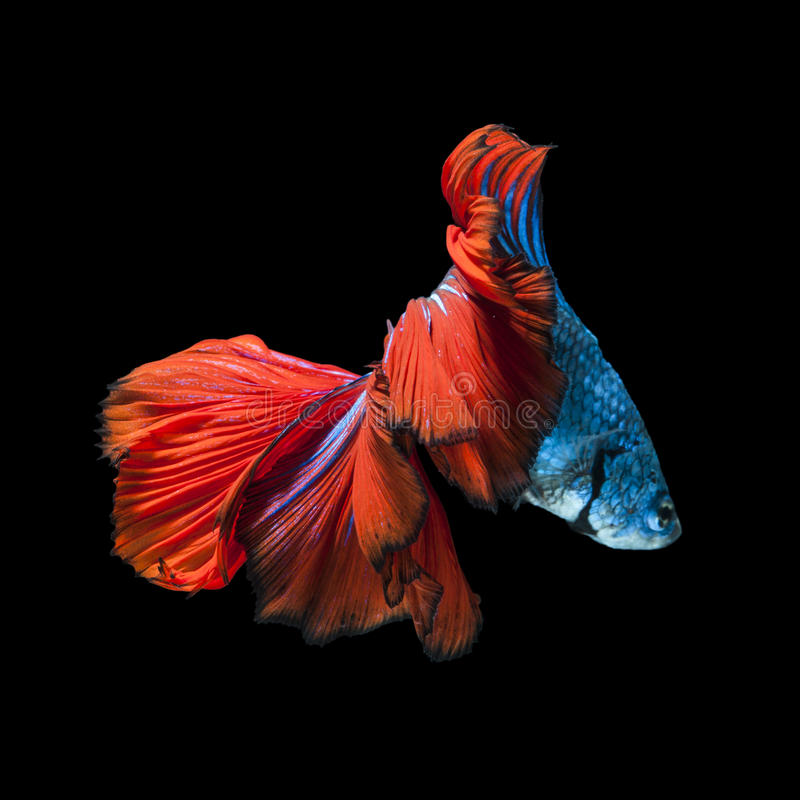 Capture the moving moment of red-blue siamese fighting fish stock image