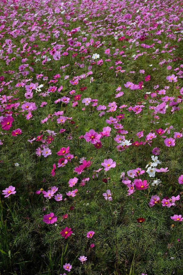 Capture verticale en grand angle d'un magnifique champ avec fleurs de Cosmos Jardin roses et blanches photographie stock libre de droits
