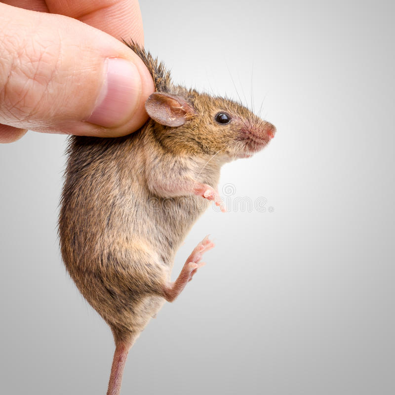 Captured house mouse (Mus musculus) royalty free stock photos