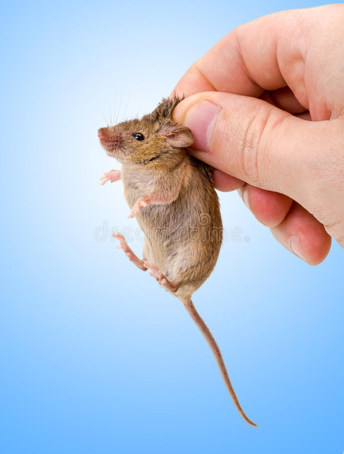 Captured house mouse (Mus musculus) stock image
