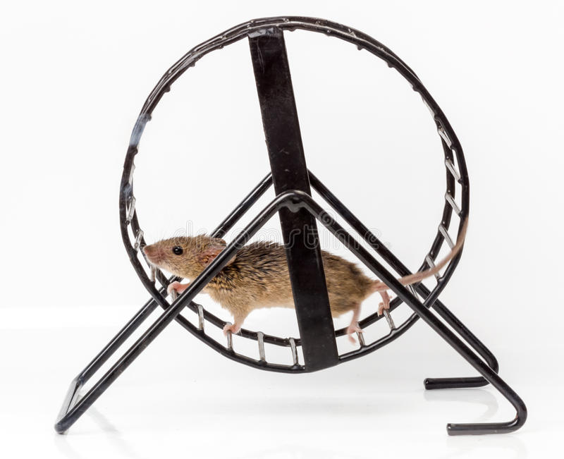 Captured house mouse (Mus musculus) in treadwheel royalty free stock photography