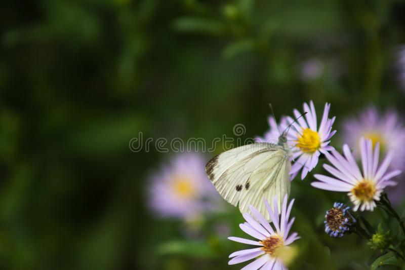 White butterfly on a flower. Captured moment when the white butterfly stands on the flower and sucks the juice royalty free stock photos