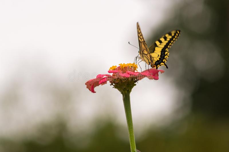 Yellow butterfly on a flower. Captured moment when the yellow butterfly stands on the flower and sucks the juice royalty free stock photography