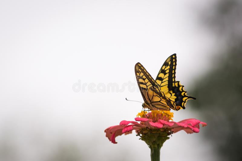 Yellow butterfly on a flower. Captured moment when the yellow butterfly stands on the flower and sucks the juice stock photography