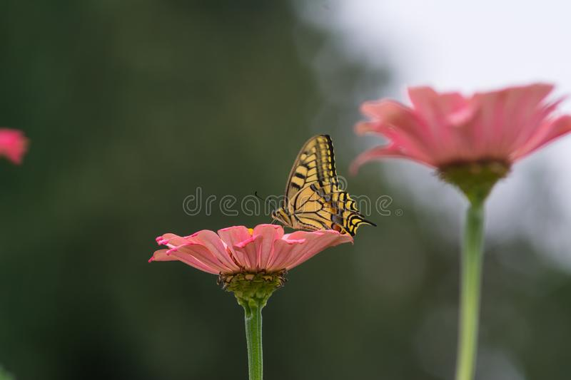 Yellow butterfly on a flower. Captured moment when the yellow butterfly stands on the flower and sucks the juice stock image