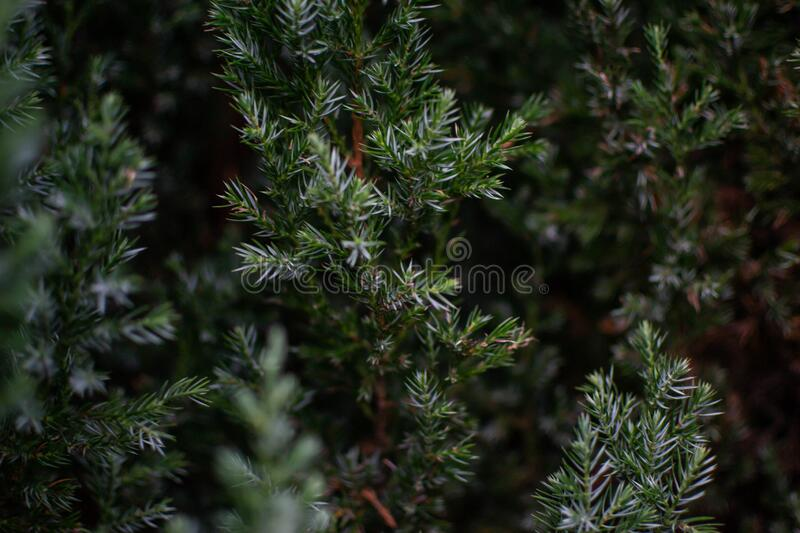 Captured needles bush - juniper in the garden, close to each other. With black background. Still life photography stock image