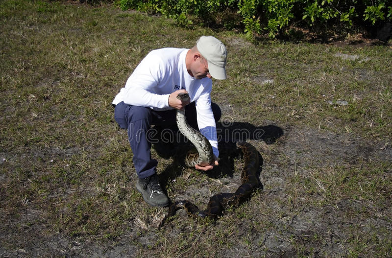 Captured Python in the Everglades. Python hunter Edward Mercer with a large python shortly after capture along the Tamiami Trail, January 22, 2012 in Miami, FL stock photo