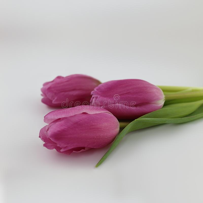 Beautiful stemmed pink tulips close-up photograph isolated on light gray background. Captured with selective focus these beautiful pink stemmed springtime tulips royalty free stock images
