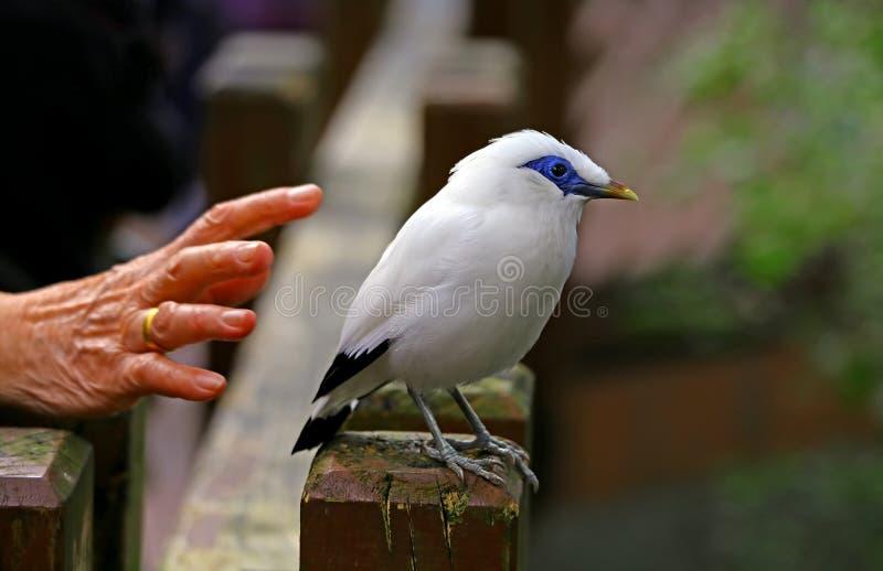 Capturing a bali mynah stock image