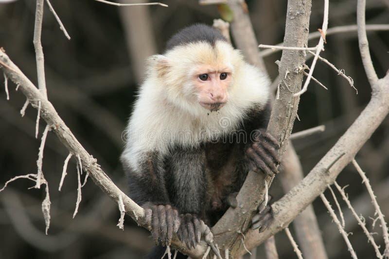 Capuchón White-faced - Costa Rica fotos de archivo libres de regalías