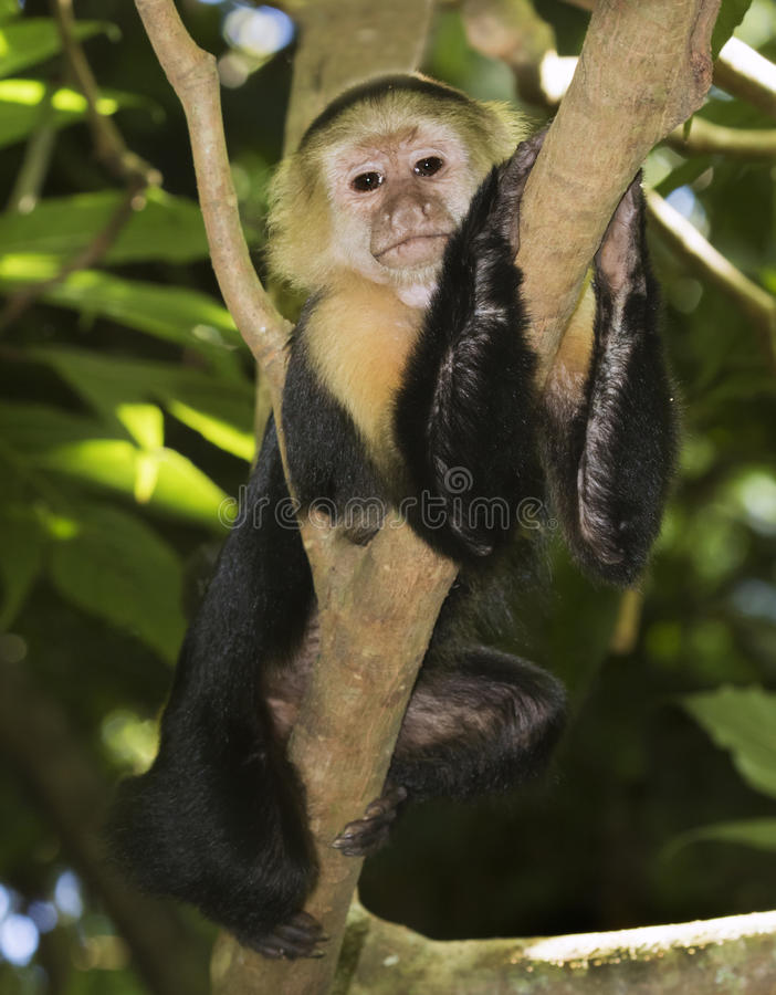 capuchin возглавил белизну стоковые фотографии rf