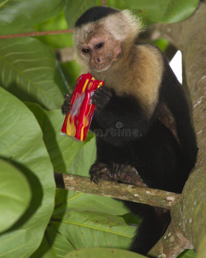 capuchin возглавил белизну стоковые изображения rf