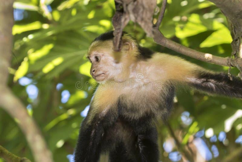 capuchin возглавил белизну стоковое изображение rf