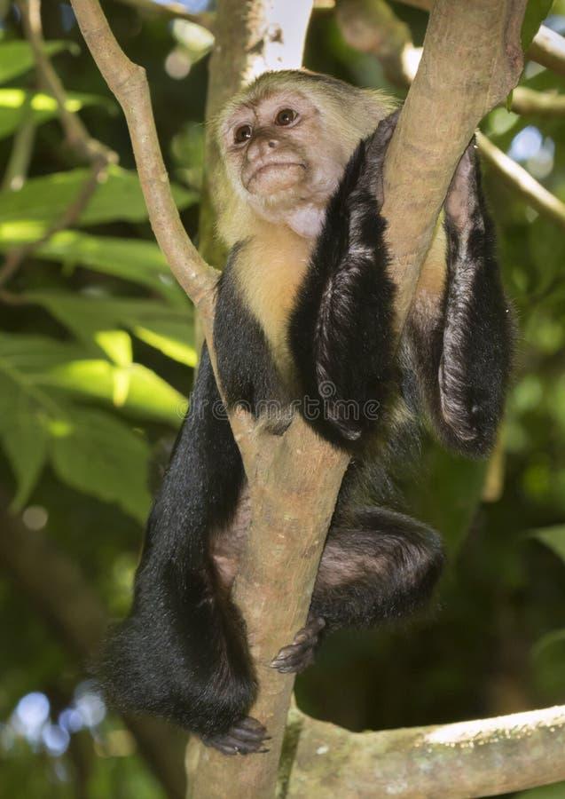 capuchin возглавил белизну стоковое фото rf